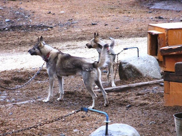 Alaskan husky dogs at Husky Homestead.
